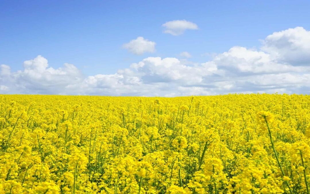 Can You Use Canola Oil Instead of Vegetable Oil?